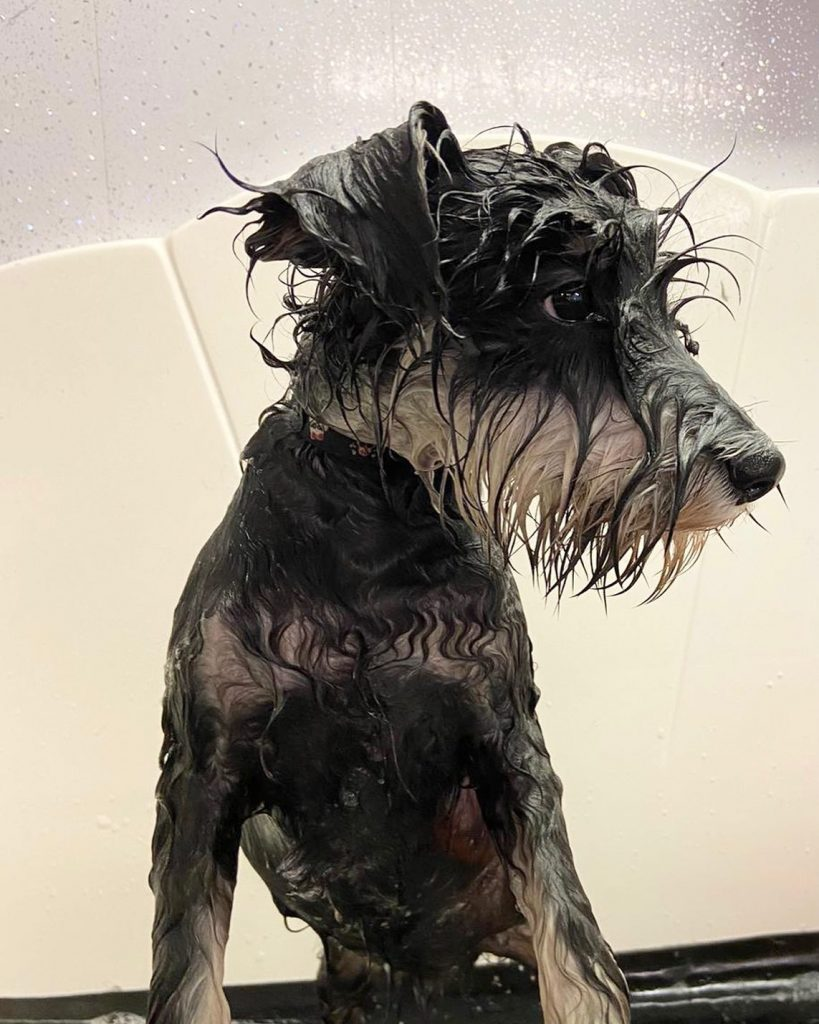 dog grooming 12