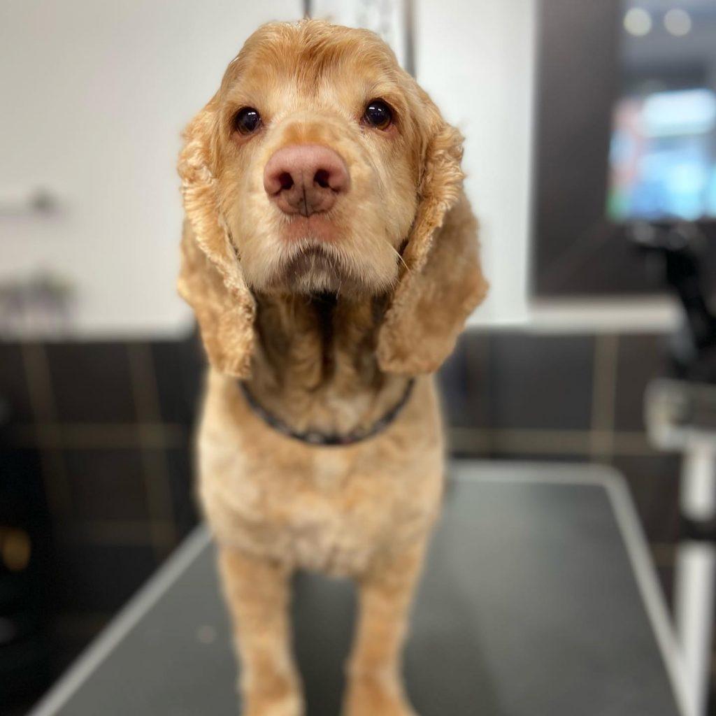 dog grooming 17