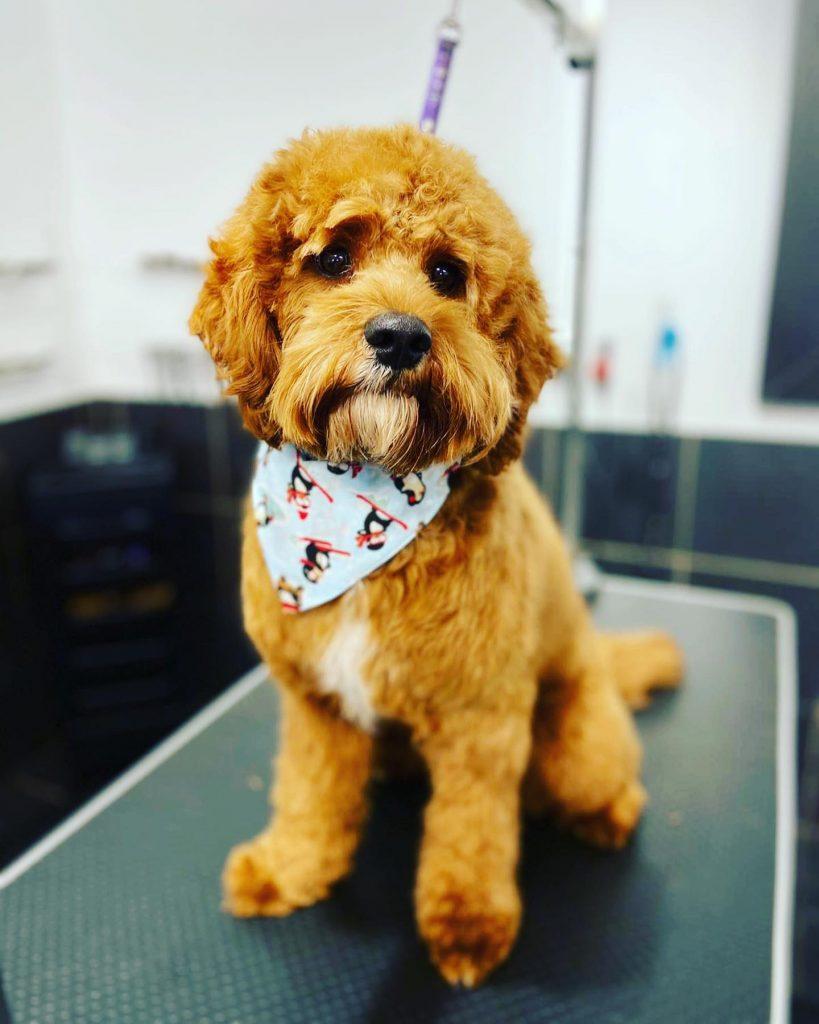 dog grooming 21